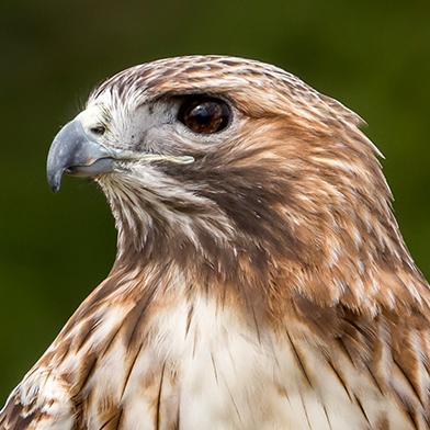 Skywalker, female Red-tailed Hawk, at Schlitz Audubon