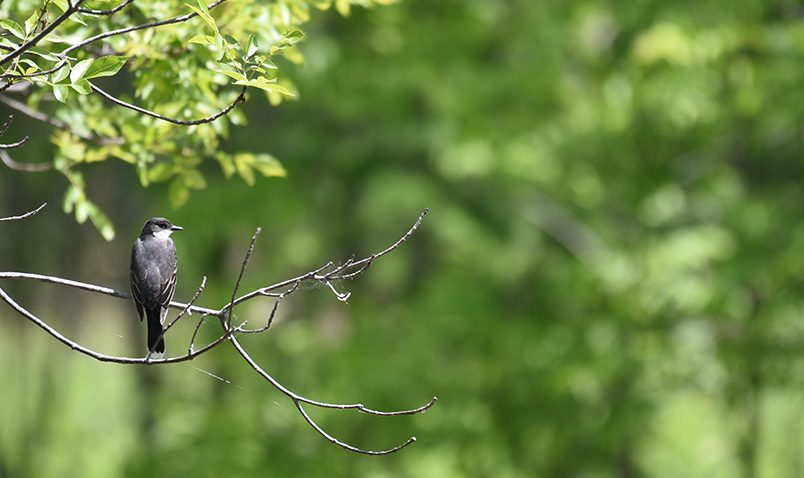 Walk in the Woods Schlitz Audubon Eastern Kingbird