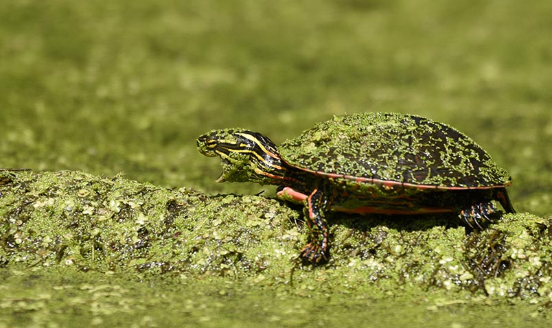 Painted Turtle, Chrysemys picta, basking at Boardwalk Pond.